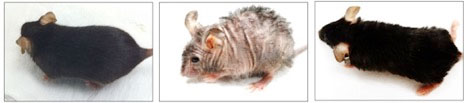 Scientists at University of Birmingham have successfully reversed aging-associated skin wrinkles and hair loss in a mouse model